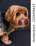 yorkshire terrier leaving the... | Shutterstock . vector #1226436619