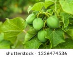 physic nut  purging nut or... | Shutterstock . vector #1226474536