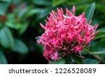 close up pink ixora flowers | Shutterstock . vector #1226528089