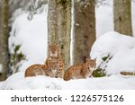 Stock photo eurasian lynx lynx lynx family mother with two kittens in the snow in the animal enclosure in 1226575126