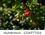 arbutus tree  ripe strawberry... | Shutterstock . vector #1226577316