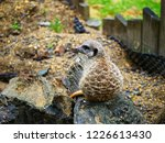 suricata animal nature | Shutterstock . vector #1226613430