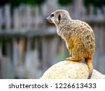 suricata animal nature | Shutterstock . vector #1226613433