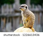 suricata animal nature | Shutterstock . vector #1226613436