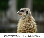 suricata animal nature | Shutterstock . vector #1226613439