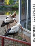 storks in the zoo. they have a... | Shutterstock . vector #1226641966