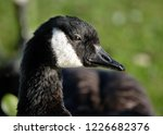 the canada goose is a large... | Shutterstock . vector #1226682376