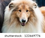 Dog. Collie Rough