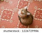 young cat or kitten looking...   Shutterstock . vector #1226729986