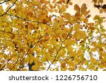 yellow leaves in a beech forest ... | Shutterstock . vector #1226756710