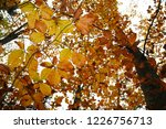 yellow leaves in a beech forest ... | Shutterstock . vector #1226756713