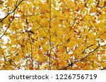 yellow leaves in a beech forest ... | Shutterstock . vector #1226756719