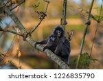 phayre's leaf monkey or...   Shutterstock . vector #1226835790