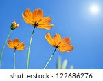 Cosmos Flower Against Blue Sky...