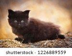 Stock photo black fluffy kitten outdoor in summer 1226889559