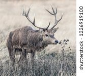 a red deer stag seen gingerly... | Shutterstock . vector #1226919100