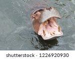 hippopotamus open mouth waiting ... | Shutterstock . vector #1226920930
