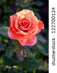 Stock photo beautiful shrub roses in the garden 122700124