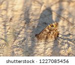 The Grayling Or Rock Grayling ...