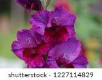 Background Of Purple Gladiolus...
