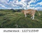 a cow on a big green alpine...   Shutterstock . vector #1227115549