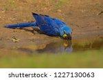 drinking wild hyacinth macaw ...   Shutterstock . vector #1227130063