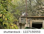 grey grumpy cat on roof of barn | Shutterstock . vector #1227150553