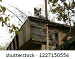 grey grumpy cat on roof of barn | Shutterstock . vector #1227150556
