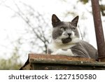grey grumpy cat on roof of barn | Shutterstock . vector #1227150580