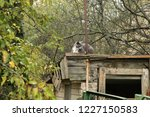 grey grumpy cat on roof of barn | Shutterstock . vector #1227150583