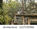 grey grumpy cat on roof of barn | Shutterstock . vector #1227150586