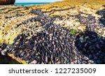 unusual background of mussels ... | Shutterstock . vector #1227235009