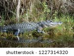 gray american alligator with a... | Shutterstock . vector #1227314320