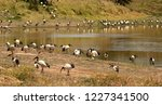 A large flock of african sacred ...