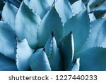 agave  asparagaceae  cactus... | Shutterstock . vector #1227440233