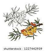 sea buckthorn. vector hand... | Shutterstock .eps vector #1227442939
