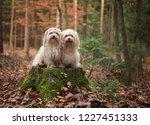 Stock photo havanese dog in autumn 1227451333