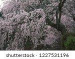 weeping cherry blossoms   Shutterstock . vector #1227531196