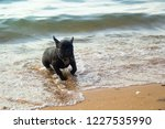 french bulldog on the beach.... | Shutterstock . vector #1227535990