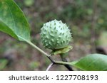 Small photo of Green fruit of datura stramonium in nature.also known as jimsonweed, devil's snare, moon flower, toloache, hell's bells, devil's or Jamestown weed, stink, tolguacha
