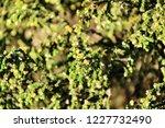salsola kali plant under the... | Shutterstock . vector #1227732490