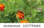 european peacock butterfly sits ...   Shutterstock . vector #1227755683