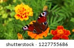 european peacock butterfly sits ...   Shutterstock . vector #1227755686