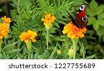 european peacock butterfly sits ...   Shutterstock . vector #1227755689