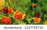 european peacock butterfly sits ...   Shutterstock . vector #1227755710
