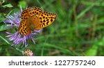 leopard butterfly close up   Shutterstock . vector #1227757240