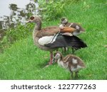 Egyptian Goose And Goslings.