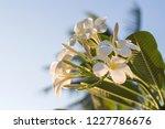 white plumeria flowers with sun ...   Shutterstock . vector #1227786676