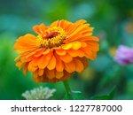 orange flower of zinnia growing ... | Shutterstock . vector #1227787000
