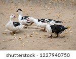 domestic fed domestic ducks ... | Shutterstock . vector #1227940750